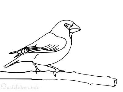 Frühlingsbasteln Vogel Malvorlage Oder Ausmalbild Kernbeisser